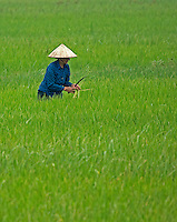 Women in the Rice fields near Ninh Binh, Northern Vietnam.