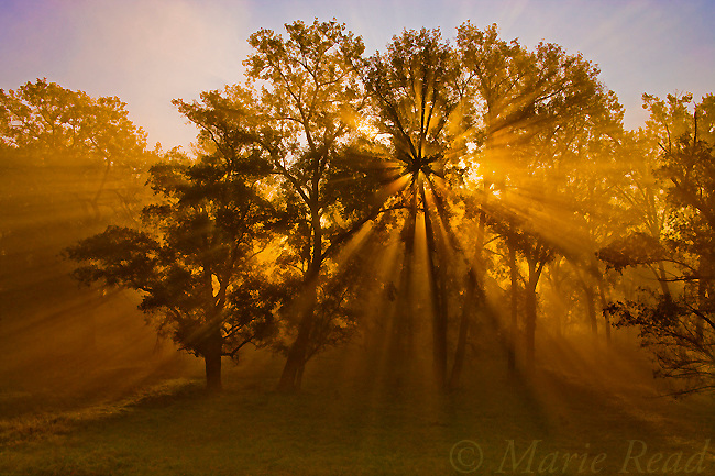 Sun beams passing through misty trees in early autumn, Montezuma National Wildlife Refuge, New York, USA