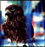 Jakarta, Indonesia. August, 2000. An eagle sits in a cage for sale in Jalan Balito, Jakarta. The illegal animal trade has flourished since Suharto resigned from office in 1998 a result of the Asian economic crisis. The eagle ranges in prices from $25 to $50 US dollars.