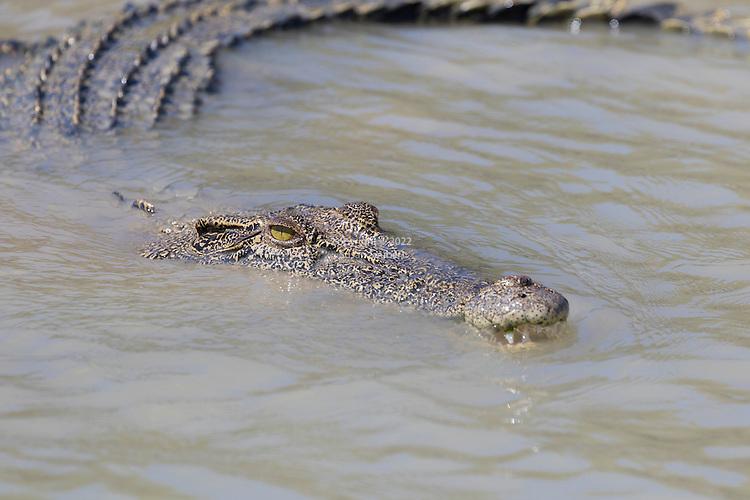 A saltwater crocodile swimming in the Hunter River, Kimberley Coast, Australia