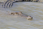 A saltwater crocodile swimming in the Hunter River, Kimberley Coast, Australia