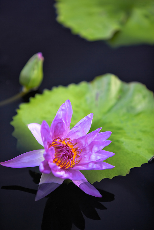 Tropical water lily (sp. Nymphaea). Hughes Water Gardens. Oregon