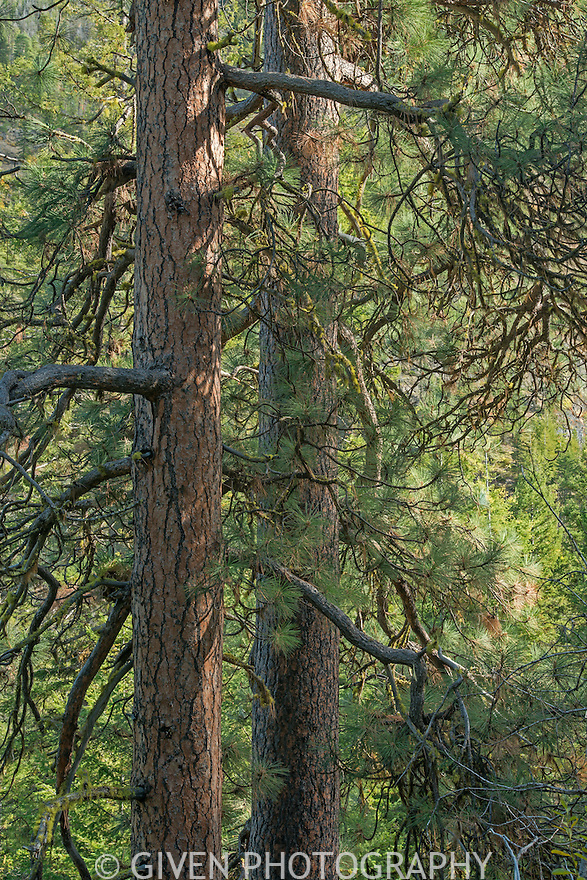 Ponderosa Pine in the Methow Valley, Washington
