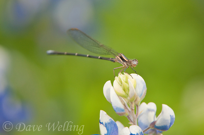 338550008 a wild male powdered dancer pond damselfly perches on a texas bluebonnet wildflower lupinus texensis in southeast regional park austin travis county texas