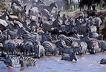 Common Zebra ( Equidae burchellii ) drinking water from Masai Mara river.