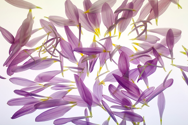 A composition of chrysanthimum petals