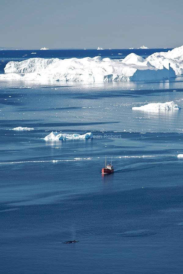 Baleines a bosses dans l'Isfjord ou fjord de glace.avec des icebergs qui peuvent atteindre plus de 100 m de haut.