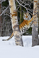 Siberian Tiger or Amur Tiger (Panthera tigris) marking tree with claws in winter snow.