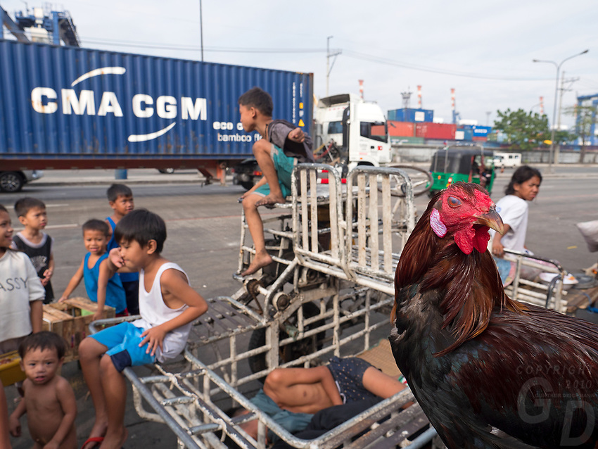 Slum area near North Harbour poverty and recycling of plastic, Manila, Philippines Fighting Cock, Rooster