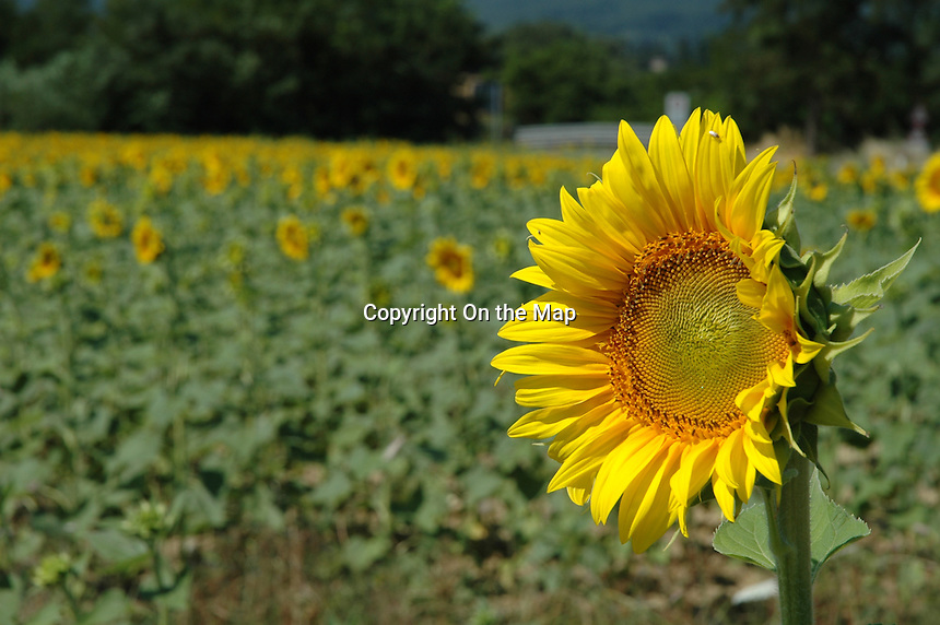 Tuscan Sunflower
