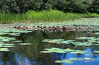 Turtles on a log at Gull lake.  Danbury Wisconsin USA
