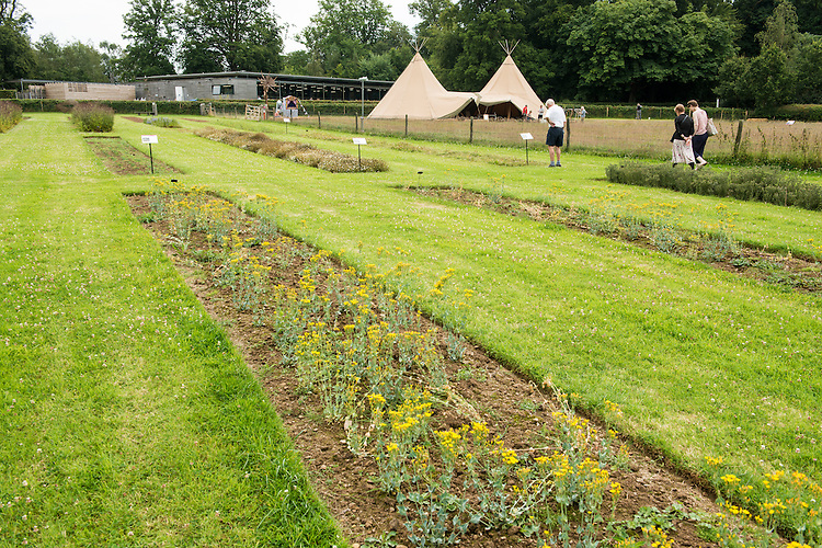 Growing of meadow species (Yellow wort, Blackstonia perfoliata, in the foreground) in production beds used to provide seed for storage, research and restoration. Wakehurst Place - Royal Botanic Gardens, Kew. Ardingly, West Sussex, UK.