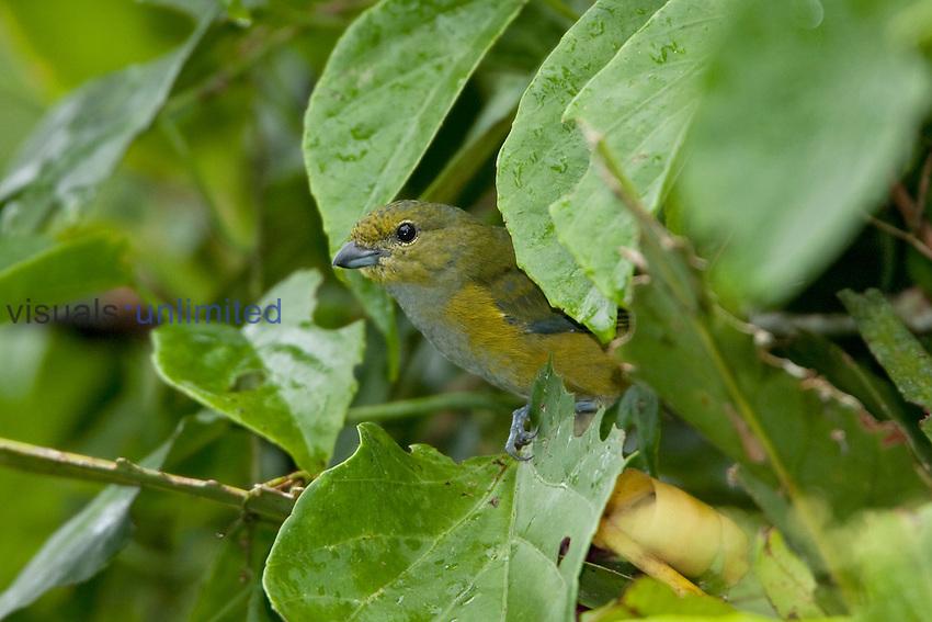 Rufous-bellied Euphonia (Euphonia rufiventris) perched on a branch near the Napo River in Amazonian Ecuador.