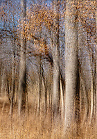 A multiple exposure of an Oak savanna creates a abstract image of an Oak grove