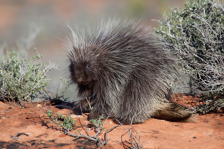 Baby Porcupine pauses while eating - CA