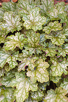Heuchera 'Ginger Ale' foliage garden plant showing many mottled leaves