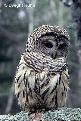 OW01-035z  Barred owl - Strix varia