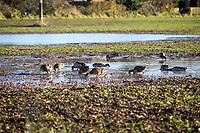 Mallard ducks feeding on flooded wheat - Lincolnshire, December