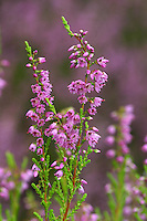 Besenheide, Heidekraut, Calluna vulgaris, Common Heather, Scots Heather, ling