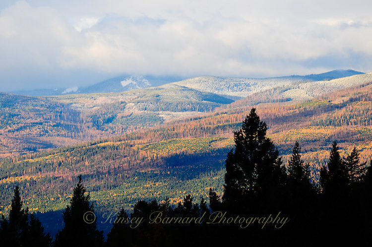 Purcell Mountains in the West Kootenai Montana. Larch aka tamrack show color in an evergreen forest.