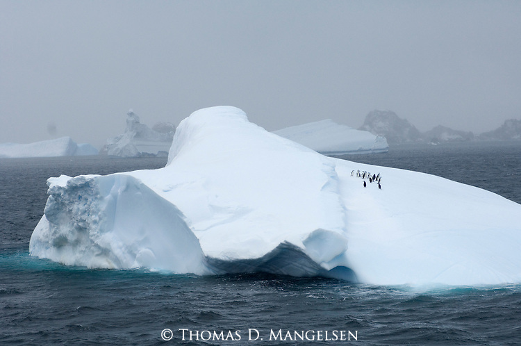 Chinstrap penguins on an iceberg near Coronation Island in the South Orkney Islands.