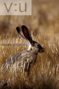 Blacktailed Jackrabbit, California, USA