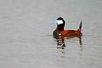 Ducks, ruddy duck, oxyura jamaicensis,