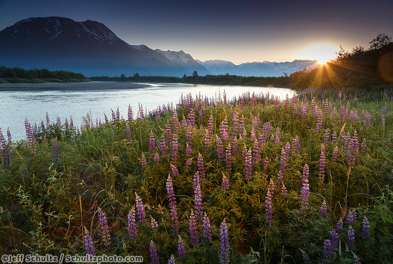 Summer landscape of lupine flowers along Placer River with Chugach Mountains in the background at sunrise. Southcentral, Alaska  June 2016<br /> <br /> (C) Jeff Schultz/ Schultzphoto.com