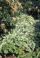 Hosta crispula variegated perennial with white edged green leaves