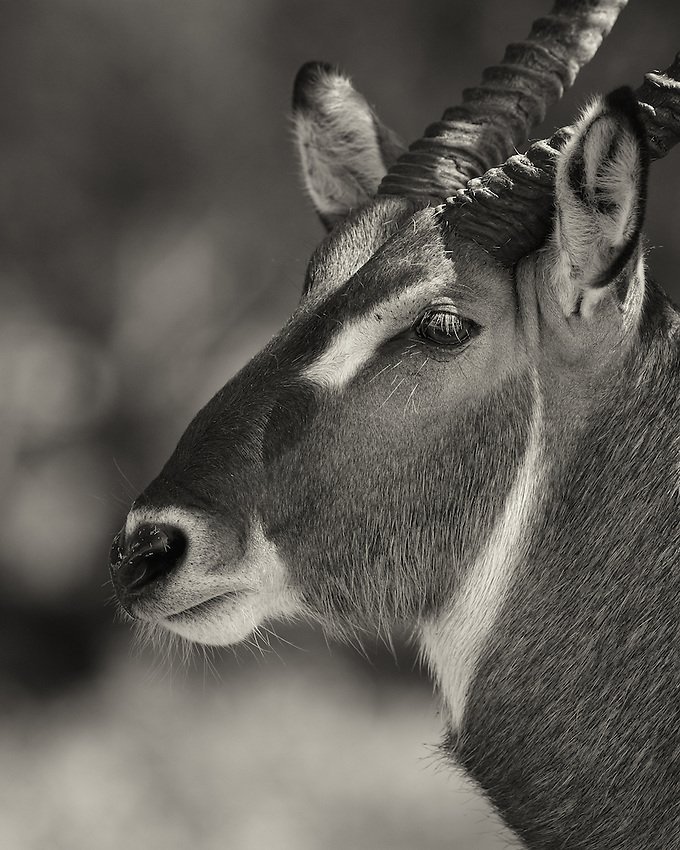 As large, powerful antelope, waterbuck can weigh nearly 700 pounds. Males sport horns atop their heads, which they employ in skirmishes with other males over territory and breeding rights. A majestic set of headgear also impresses female waterbucks, which have no need to fight, thus no need for horns.