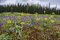 The early summer wildflowers were in full bloom in the open bald near Diamon Peak.  Thick stands of larsspr and groundsel were blooming.  The lupines were just starting to open.