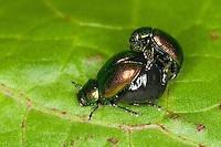 Grüner Sauerampfer-Käfer, Sauerampferkäfer, Ampfer-Blattkäfer, Ampferblattkäfer, Sauerampfer-Blattkäfer, Sauerampferblattkäfer, Kopula, Paarung, Kopulation, Gastrophysa viridula, Gastroidea viridula, Blattkäfer frisst an Blatt vom Ampfer, Rumex, green dock beetle, green dock leaf beetle, green sorrel beetle
