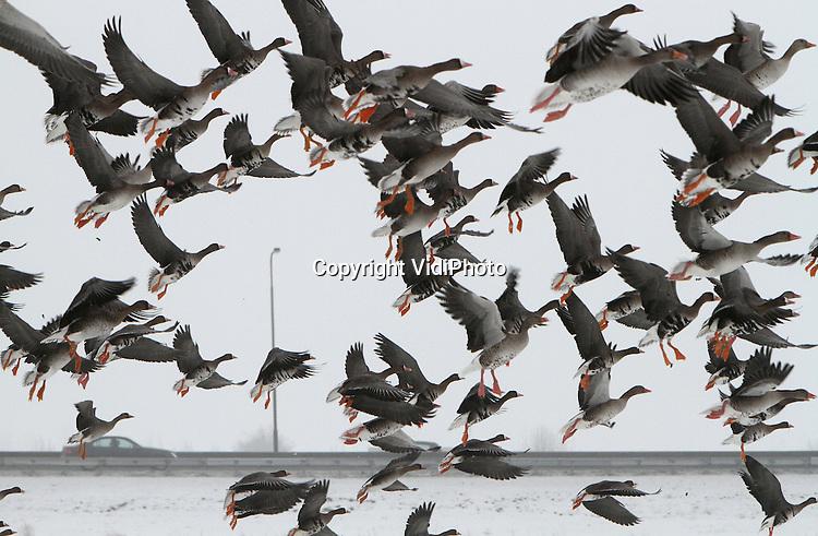 Foto: VidiPhoto..VALBURG - Ganzen woensdag op een ondergesneeuwd weiland bij Valburg in de Betuwe, een ongebruikelijke plek voor de dieren. Volgens vogelkenners zijn de ganzen van slag door de sneeuw en trekken ze daardoor van de uiterwaarden naar het binnenland. Ieder jaar overwinteren in Nederland zo'n 2 miljoen ganzen.