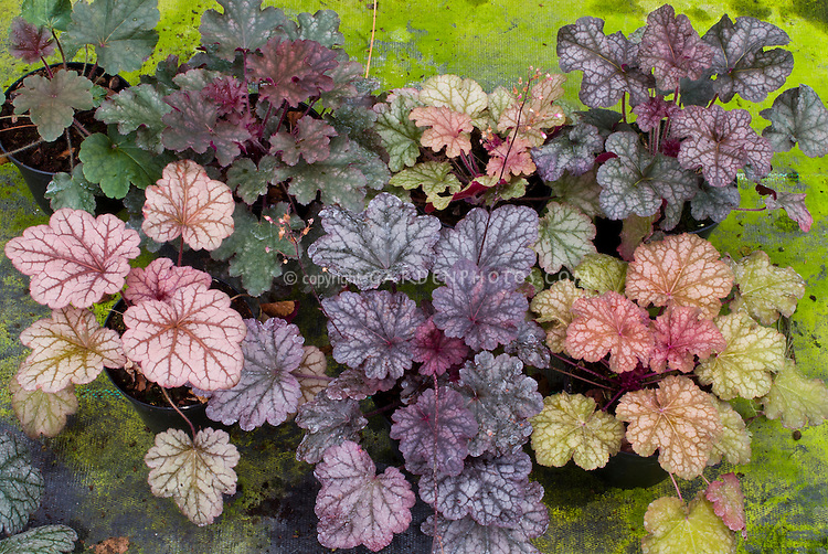 Heuchera 'Berry Smoothie' (seedlings of), showing great variety when grown from seed