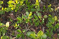 Portulak, Gemüse-Portulak, Sommerportulak, Portulaca oleracea, common purslane, verdolaga, pigweed, little hogweed, red root, pursley, moss rose, Le Pourpier, Pourpier maraîcher, Porcelane