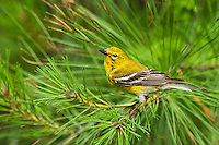 592240004 a wild male pine warbler setophaga pinus - was dendroica pinus - perches in a long leaf pine  pinus palustris in the angelina national forest in jasper county east texas united states