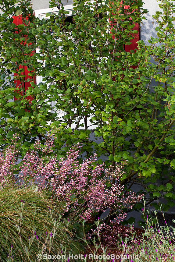 Ribes sanguineum shrub by window with pink flowering coral bells (Heuchera) in front yard with California native plants, Heath-Delaney garden