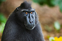 Male crested black macaque portrait, (Macaca nigra), Indonesia, Sulawesi; Endangered species, threatened through loss of habitat and bush meat trade, species only occurs on Sulawesi.