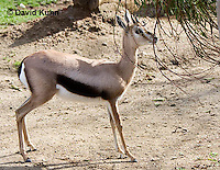 0602-1101  Speke's Gazelle, Smallest of Gazelle Species, Gazella spekei  © David Kuhn/Dwight Kuhn Photography