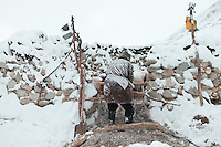 A Kyrgyz man closes the shepherd pen after a snow storm..In and around Ech Keli, Er Ali Boi's camp, one of the richest Kyrgyz in the Little Pamir...Trekking with yak caravan through the Little Pamir where the Afghan Kyrgyz community live all year, on the borders of China, Tajikistan and Pakistan.