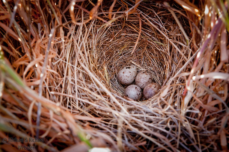 The nest and eggs of a Crested lark.