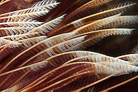 Magnificent feather duster detail