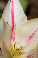 White tulip with red stripes