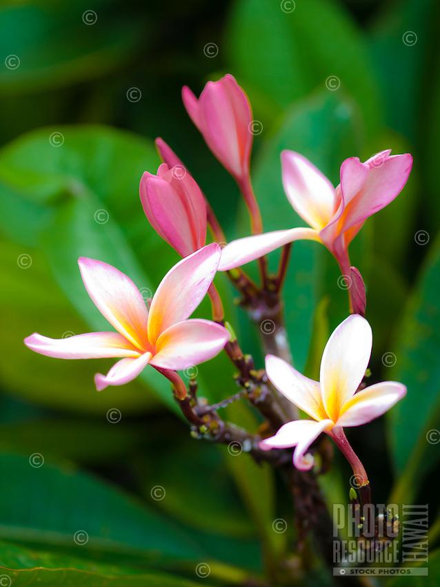 A close-up of pink plumeria flowers in Kailua-Kona, Big Island.