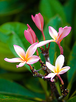 A close-up of pink plumeria flowers in Kailua-Kona, Big Island.