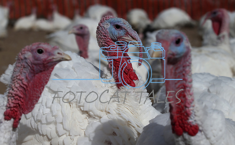 About 200 broad-breasted white turkeys hang out in their pen in Gardnerville, Nev., on Tuesday, Nov. 19, 2013.<br /> Photo by Cathleen Allison