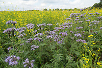 Phacelia & mustard conservation area close to farm yard - Lincolnshire, JUly