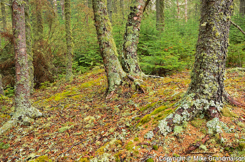 Lichen covered trees in the boreal forest <br /> Neys Provincial Park<br /> Ontario<br /> Canada