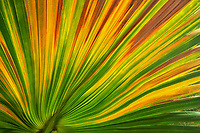 Colorful palm leaf,. Anza Borrego, California