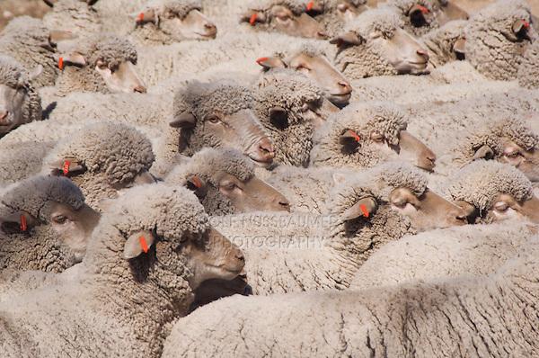 Domestic Sheep, Sheep shearing, unsheared sheep, Hill Country, Texas, USA, April 2007